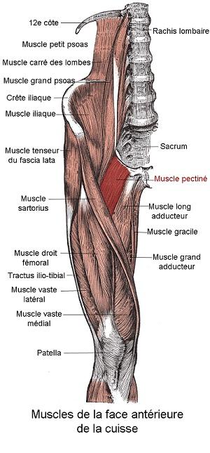Le muscle pectiné